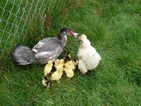 how to raise laying hens in your backyard how to raise laying hens in your backyard 5 best laying
