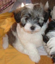 havaton puppies 1000 ideas about coton de tulear on bichon frise puppies and maltese