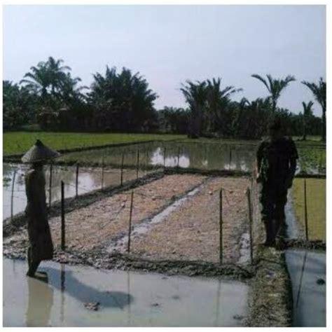 Bibit Padi babinsa dingi petani semai padi