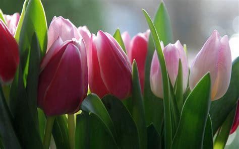 imagenes para fondo de pantalla de tulipanes flores tulipanes im 225 genes de fondo fondos de pantalla gratis