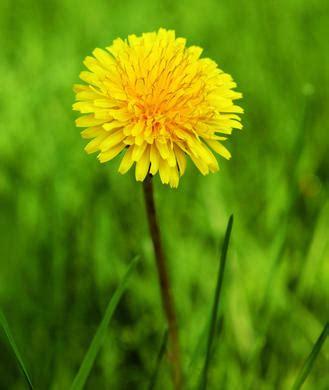 Side Effects Of Dandelion Root Detox by Belc College Malahide Road Boards Ie