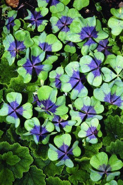 25 best ideas about purple shamrock on pinterest