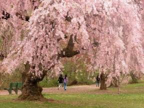 Cherry Bloosom Tree file newark cherry blossoms jpg wikimedia commons