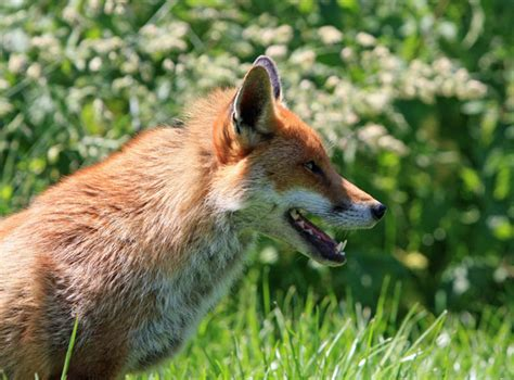 not so different finding human nature in animals books what to do when you find foxes in the garden animalwhoop