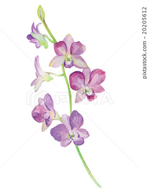 orchids and watercolor 95th birthday watercolor illustrations of orchid flower isolated stock illustration 20205612 pixta