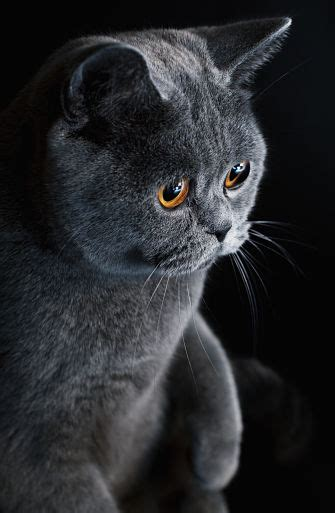 Cat Is Shedding by Non Shedding Cat Breeds Fact Or Myth Breeds Picture
