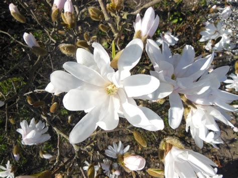 magnolia white flowering trees free stock photos in jpeg jpg 4608x3456 format for free