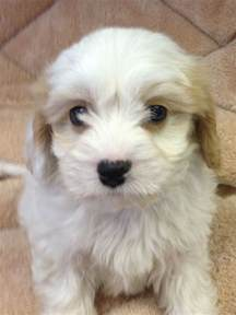 Puppies For Sale Cavachon Puppies For Sale West Pets4homes