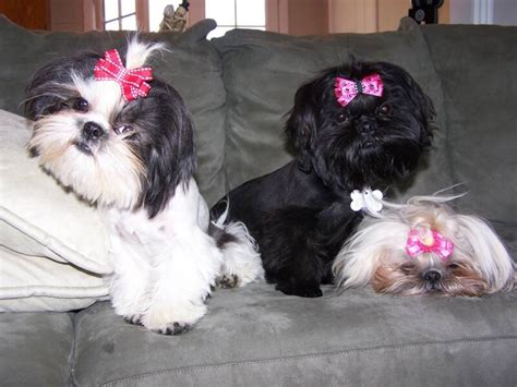 shih tzu bow bows for shih tzu hair 1001doggy