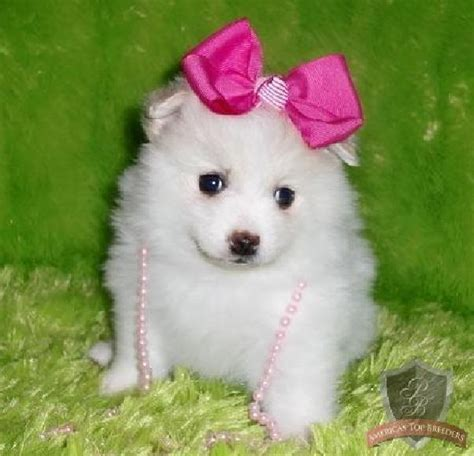 white pomeranian puppies puppy dogs white pomeranian puppies