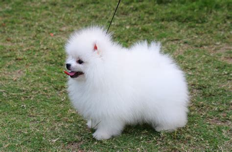 pomeranian dogs info pomeranian puppies rescue pictures information temperament characteristics