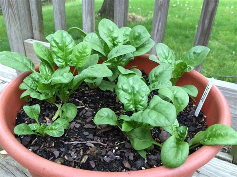 spinach container garden spinach growing tips how to care and grow spinach in