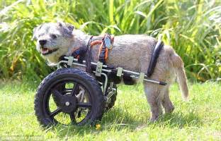 wheelchair for front legs 3 legged on the move thanks to a 163 360 wheelchair daily mail