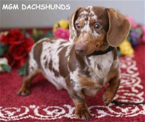 dachshund puppies idaho dachshund puppies for sale boise idaho merry photo