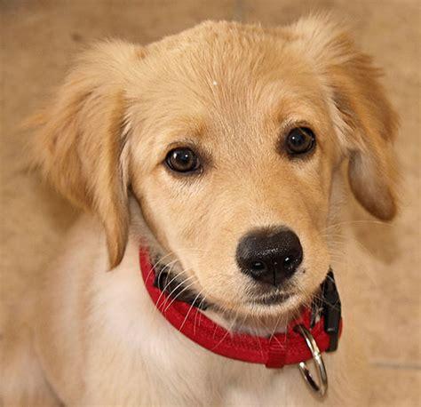 golden retriever puppies albuquerque congrats 4 page 2 just for name etc babynamegenie