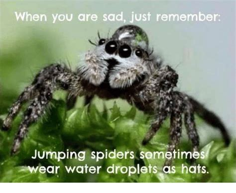 Sad Spider Meme - when you are sad just remember jumping spiders sometimes