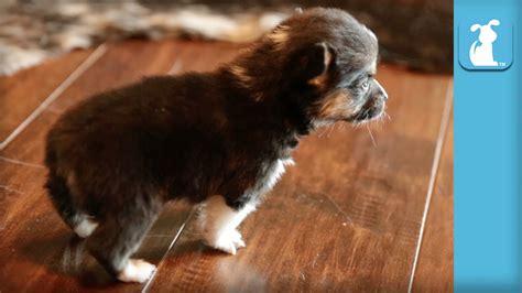puppy keeps sneezing baby corgi puppy can t stop sneezing puppy funnydog tv