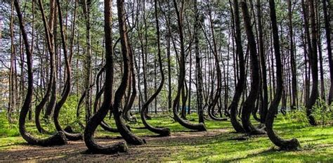 mysterious crooked forest in west pomerania poland poland s crooked forest architecture here and there