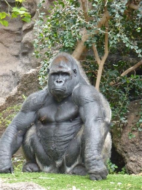 how much can a gorilla bench how much would the average gorilla be able to bench press