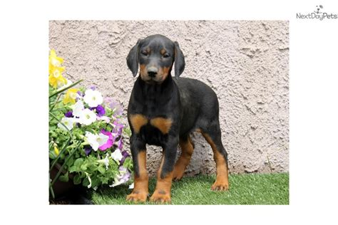 free puppies in chattanooga akc registration doberman pinscher puppies breeds picture