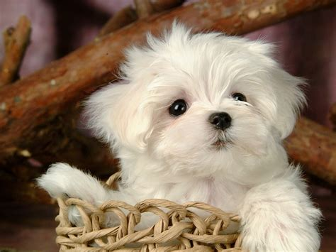 white fluffy dogs sun shines lovely white fluffy puppy