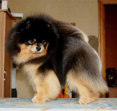 black and pomeranian puppies black and pomeranian puppiesakita puppies ch rus rkf blr veseli gnom rollik