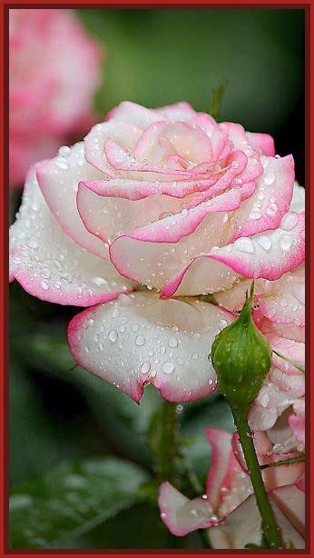 imagenes de uñas con flores lindas imagenes de rosas bonitas para una amiga archivos