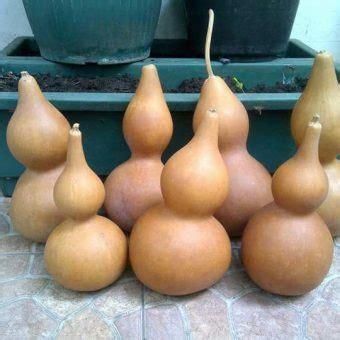 Benih Bottle Gourd Benih Labu Botol Bottle Gourd