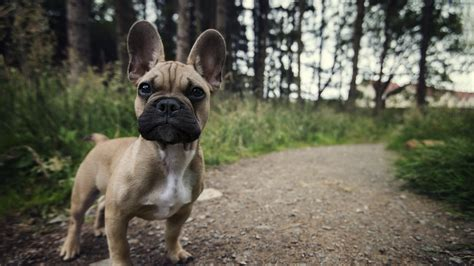 dog animals french bulldog wallpapers hd desktop