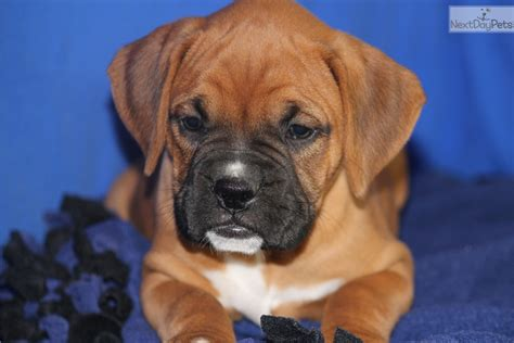 boxer puppies for sale near me boxer puppy for sale near jonesboro arkansas 1243e419 38e1