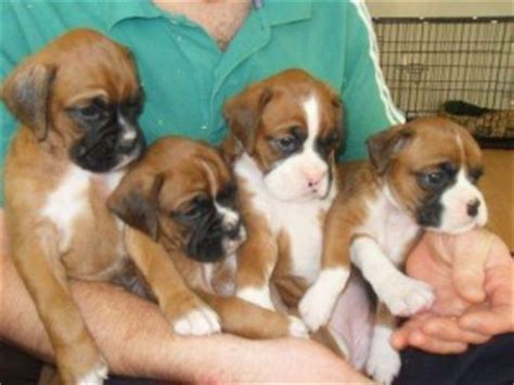 boxer puppies maryland inteligent baby capuchin monkey for adoption eldersburg md asnclassifieds