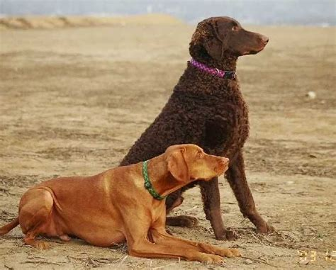 curly golden retriever 13 best curly coated retriever images on curly coated retriever
