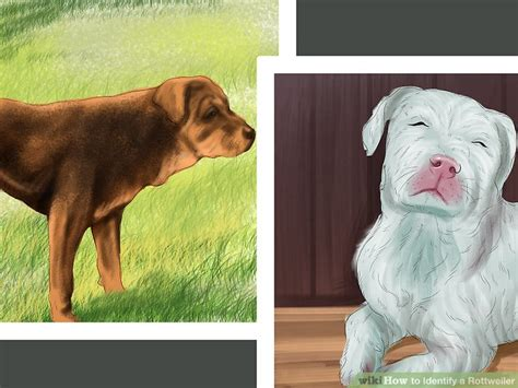 rottweiler with white markings 3 ways to identify a rottweiler wikihow