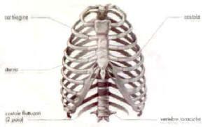 gabbia toracica costole apparato scheletrico
