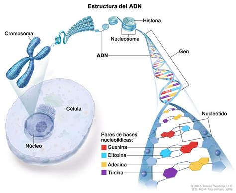 cadenas definition in spanish dictionary of cancer terms