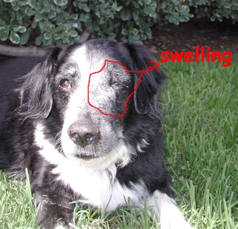 nasal cancer in dogs related keywords suggestions for nasal tumors in dogs
