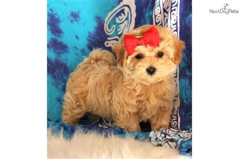 maltipoo puppies for sale in oklahoma 25 best ideas about maltipoo puppies for sale on maltipoo for sale