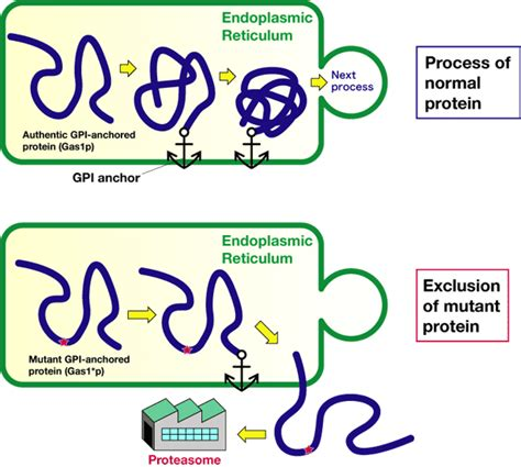 protein 2 abnormal discovery of a new quality mechanism for proteins