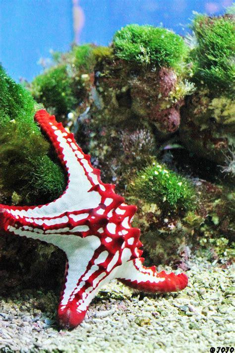Knobbed Starfish by Knobbed Starfish By Jojoasakura On Deviantart