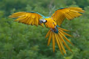 macaw colors macaw parrots as pets animals wiki pictures