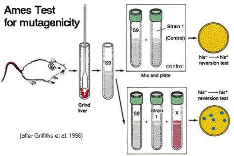 test ames ames test for mutagenicity