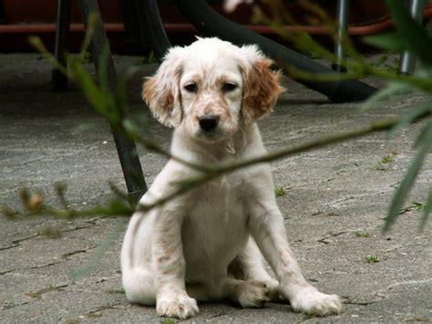 english setter apartment dog english setter puppies puppy dog gallery