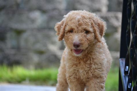 goldendoodle puppy growls and bites pics for gt chocolate miniature labradoodle