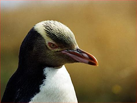 Yellow-Eyed Penguin - Facts, Habitat, Pictures and Predators
