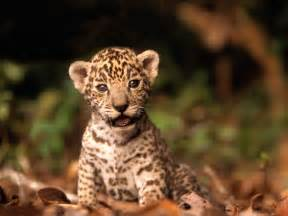 Baby Jaguar Baby Jaguar Animal Wallpaper