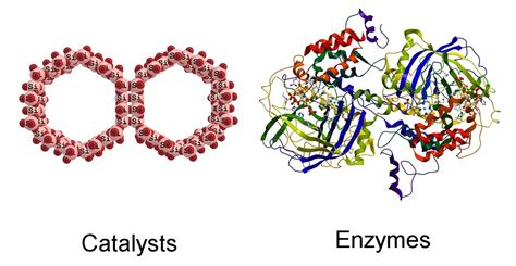 protein vs enzyme a definitive look at the difference between catalysts and