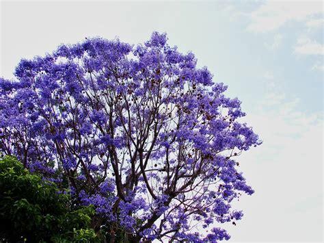 panoramio photo of purple tree flower