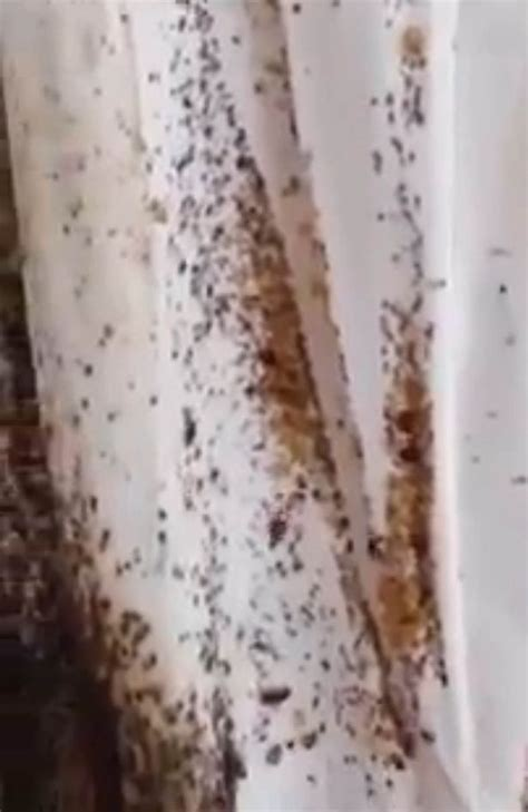 Worst Bed Bug Infestation by Is This The Worst Bed Bug Infestation Gruesome