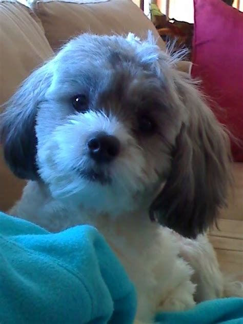 shih poo puppies haircuts 20 best shih tzu malteese poodle mix images on