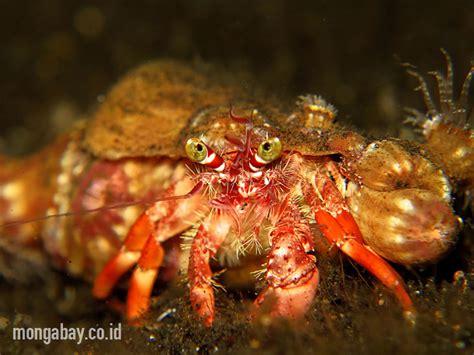 Cangkang Kapsul Rumput Laut Kapsul Kosong Rumput Laut hermit annemone crab di lembeh bali foto wisuda